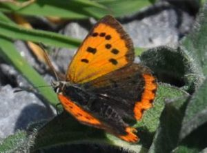Small Cropper Butterfly